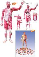 Mô Hình Giải Phẫu Cơ Toàn Thân